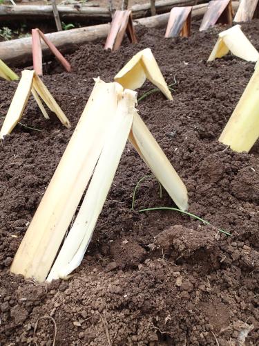 バナナの幹の日除け