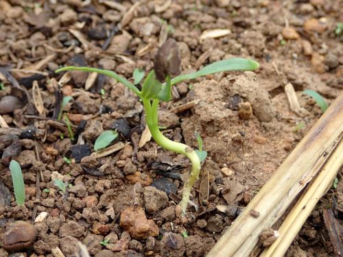 種と根が見える空心菜