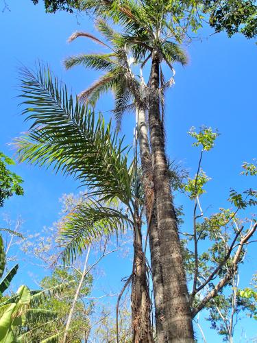 ピファの木