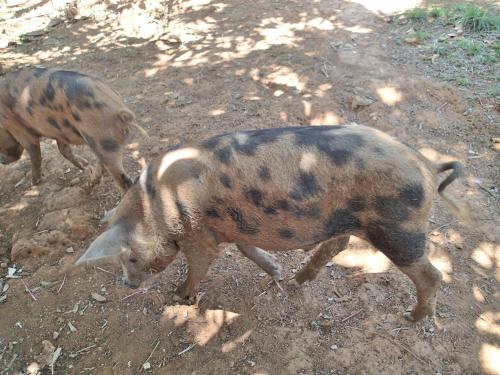 まだら模様の豚