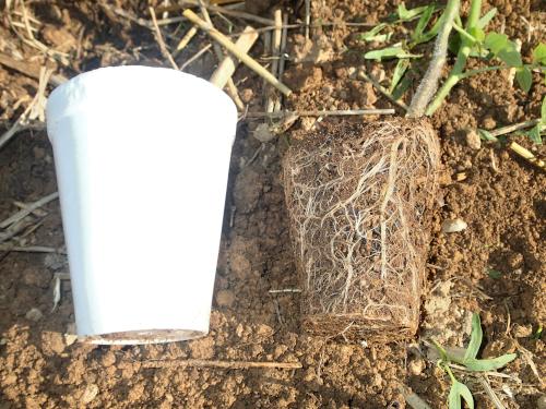 ポット苗の根の状態