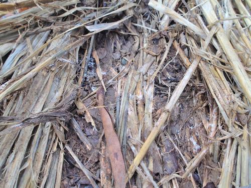 菌が繁殖したマルチ