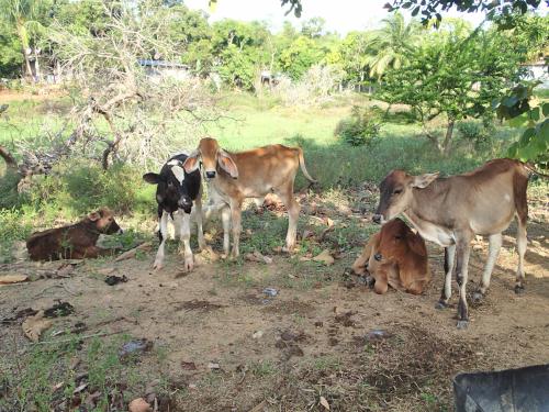 仔牛の群れ