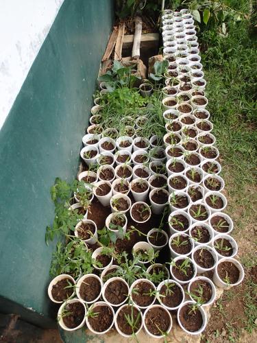 100個以上の空心菜の苗