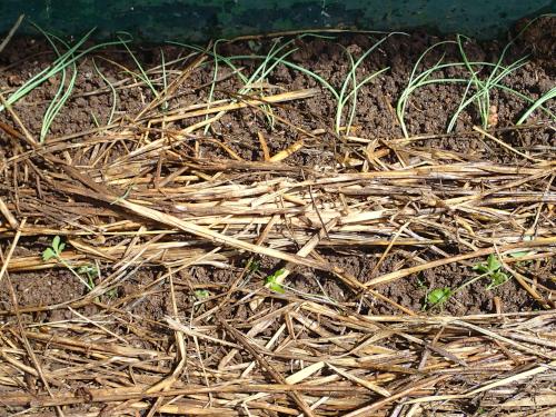 長ネギとセロリの定植