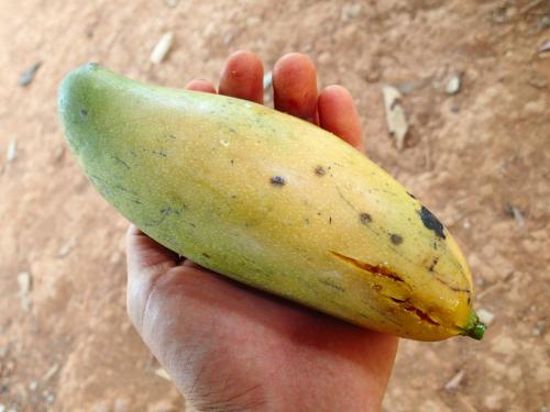 長いマンゴー