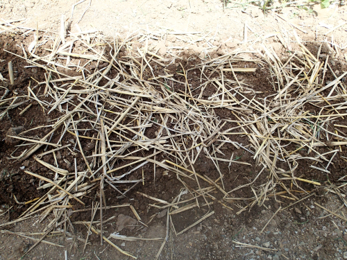 マンゴーの苗床