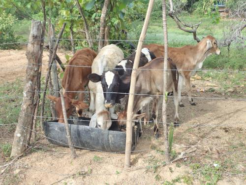 放牧中の牛