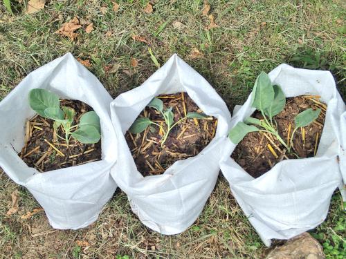 カリフラワーの袋栽培の様子