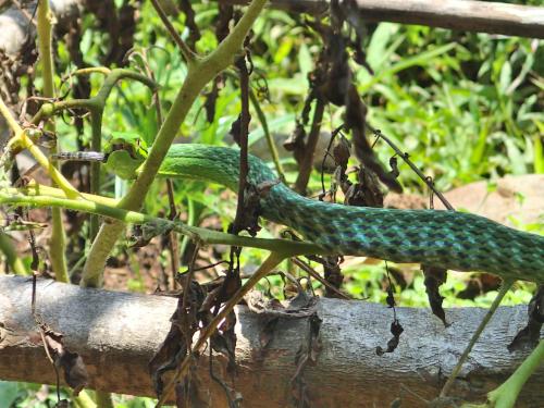 トカゲを食べる蛇