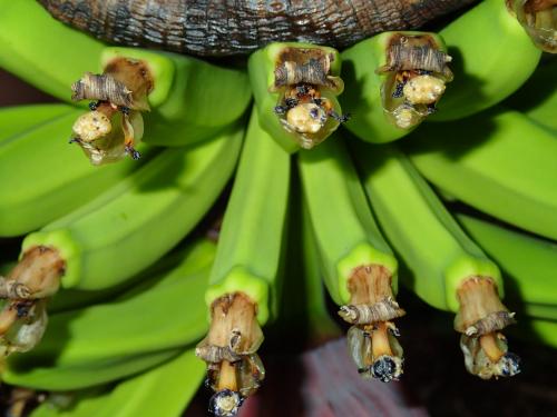 バナナの拡大写真