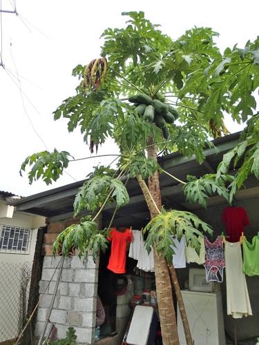 庭のパパイヤの木