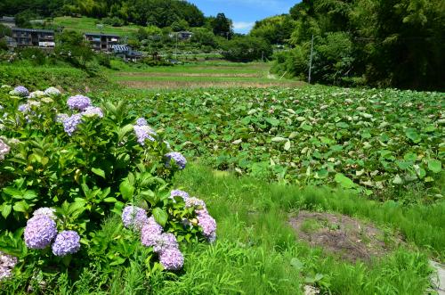 泰阜村の蓮池と紫陽花