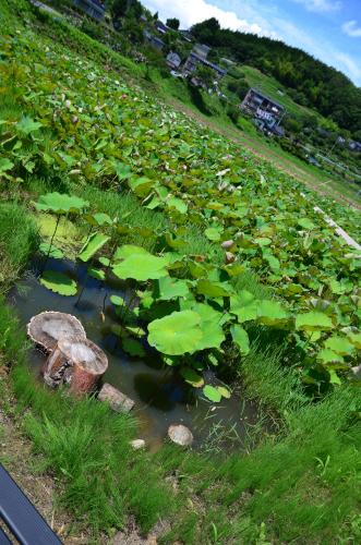 泰阜村の蓮池