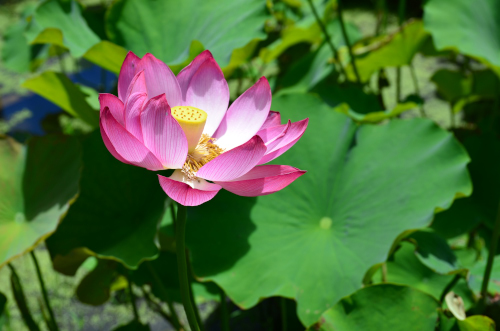 泰阜村の蓮池の写真