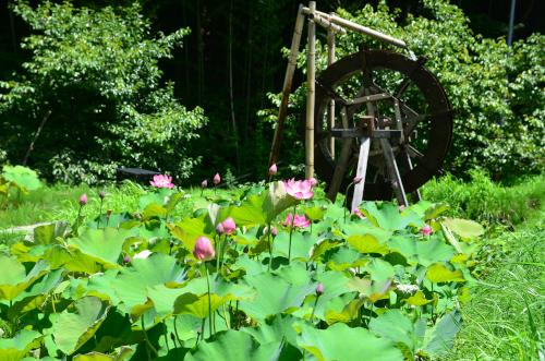 泰阜村の蓮池と水車
