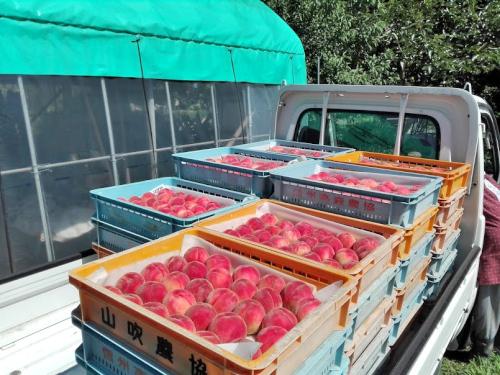 出荷する桃