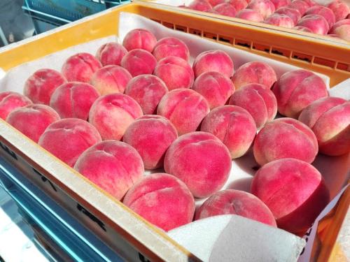 ニートが農業に挑戦!夏休みだけ長野県高森町の桃農家でアルバイトしてみた