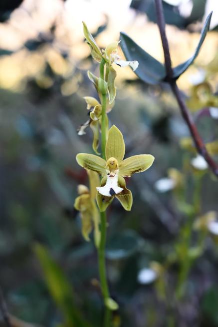 アウヤンテプイの緑色の花