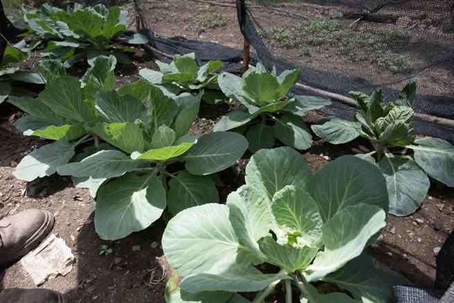 ティキパヤ市の野菜畑
