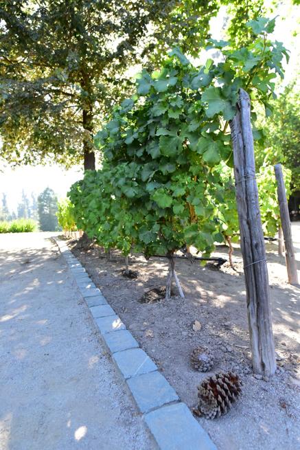ワイナリーConcga t toroのブドウ畑
