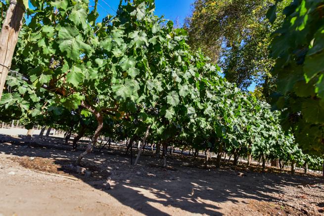 ワイン用のブドウ栽培