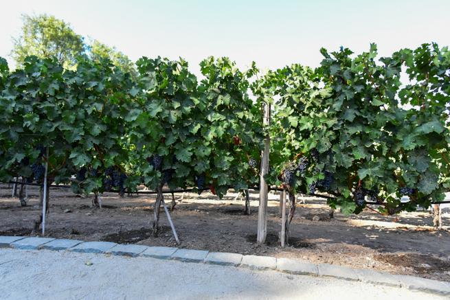 チリ産のワイン用ブドウ