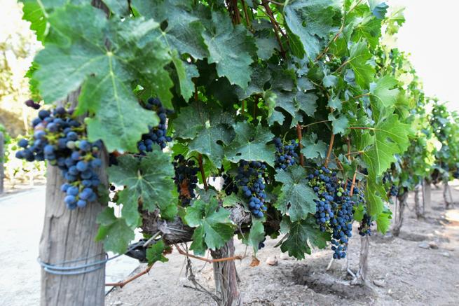 青々としたブドウ