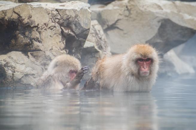 温泉の中で毛づくろいをし合う猿