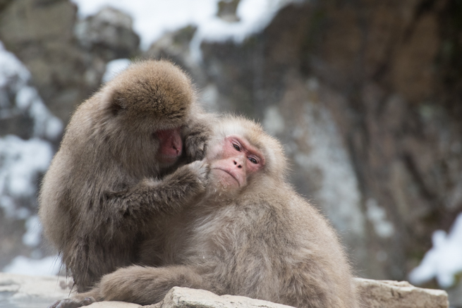 顔周りの毛づくろいを受けているお猿さん