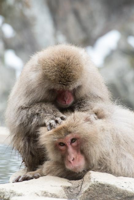後頭部を見つめる猿