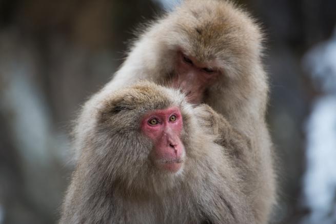 カメラが気になる猿