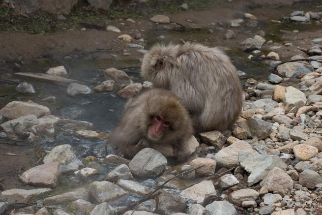 天然温泉の中で毛づくろいをする猿