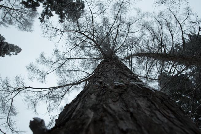 信濃町の大木