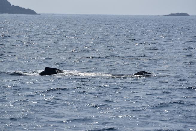 海面に姿を現したザトウクジラ