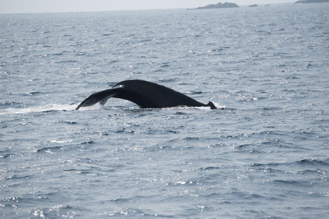 ザトウクジラの尾