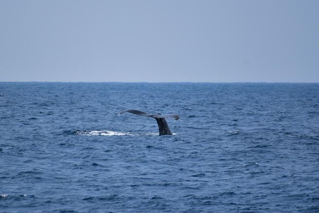 ザトウクジラの尻尾