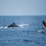 沖縄の人気観光スポット座間味島でホエールウォッチング!鯨の写真が撮れて水中の歌声を聴けたよ