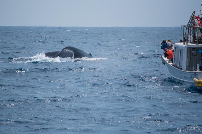海中に潜ろうとするザトウクジラ