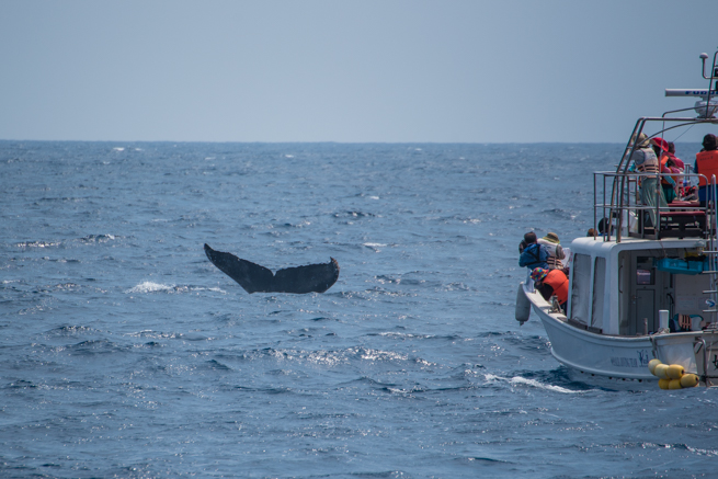 ザトウクジラを眺める観光船
