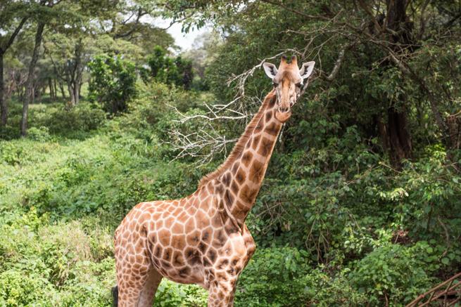 ナイロビのジラフパークのキリン
