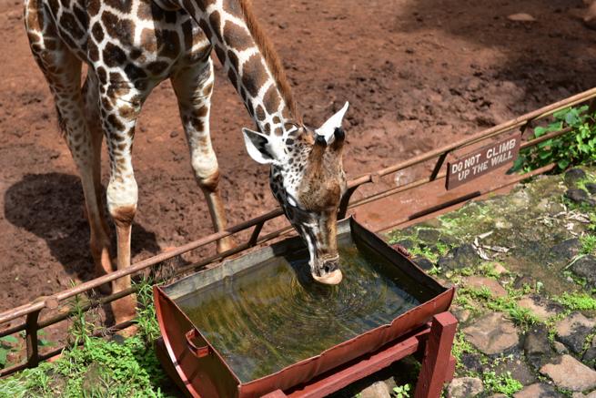 ナイロビのジラフパークのキリンが水を飲む