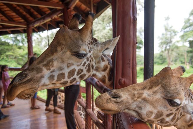 ナイロビのジラフパークのキリンのエサやり