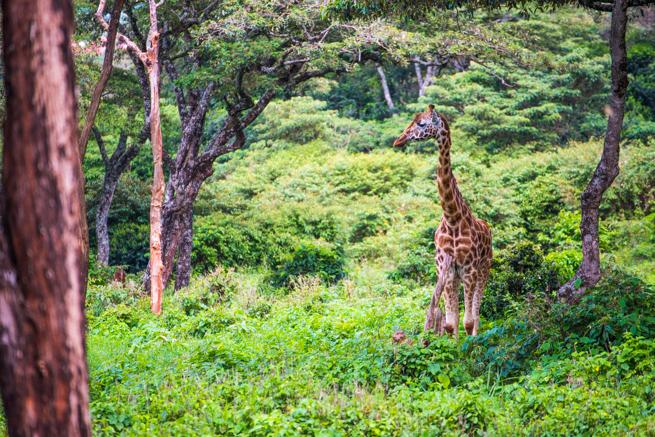 ナイロビのジラフパークの森の中にいるキリン
