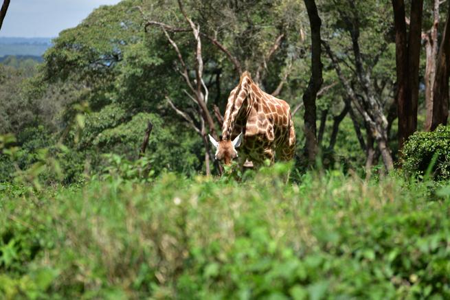 首が長いのに草を食べるキリン
