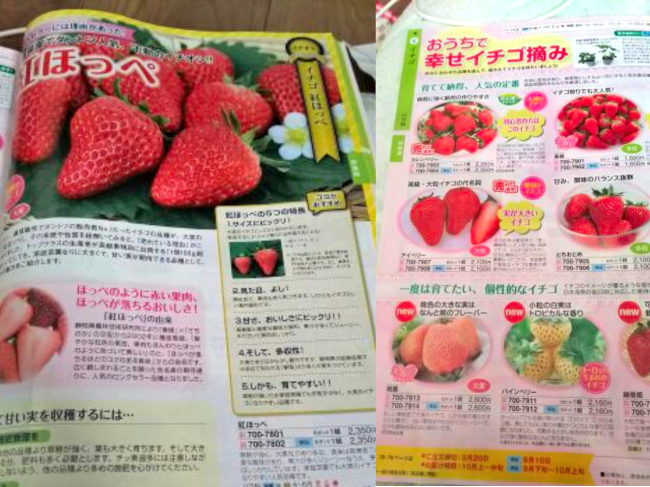 sakata-strawberry_9039