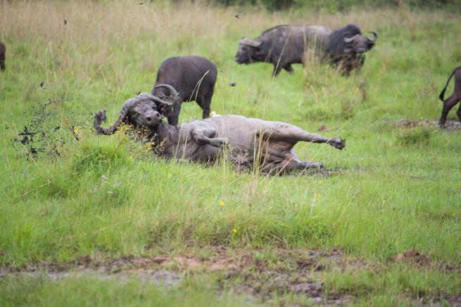 ナイロビ国立公園のバッファロー