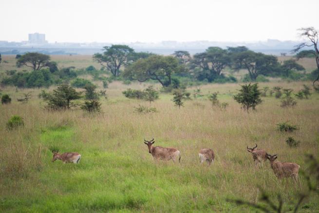 ナイロビ国立公園のコークハーテビースト
