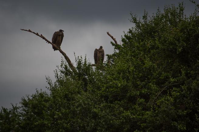 ナイロビ国立公園のハゲタカ