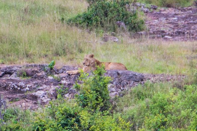 ナイロビ国立公園のライオン